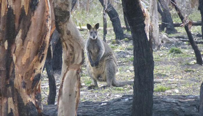 Kangourou à proximité du gisement de Cristal fumé
